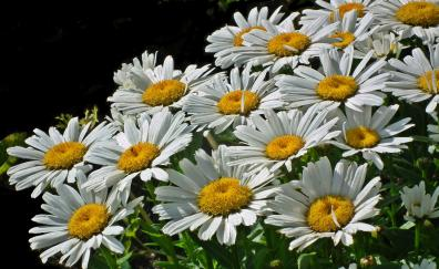 Spring flowers meadow white daisy
