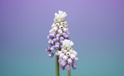 ios 11, stock, flower, muscari, gradient, minimal
