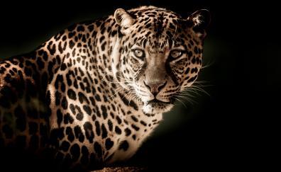 Leopard predator muzzle wild cat