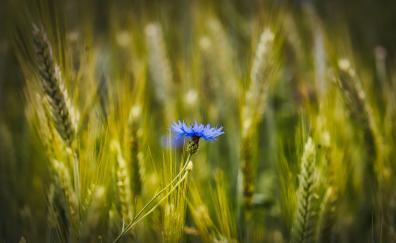 Blue, conflower, wheat farm, blur