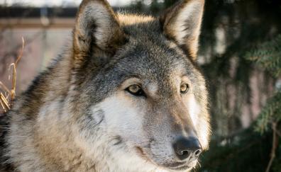 Wolf the predator wild
