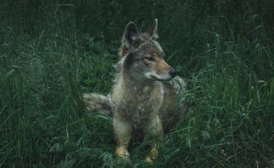 Wolf sit calm predator 4k