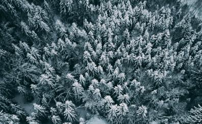 Aerial view, winter, pine trees, frost