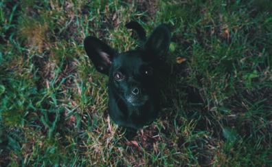 Black puppy stare
