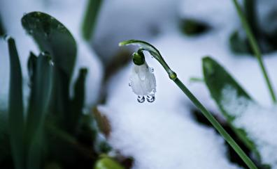 Snow drop dew drops closeup