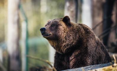 Predator wildlife bear