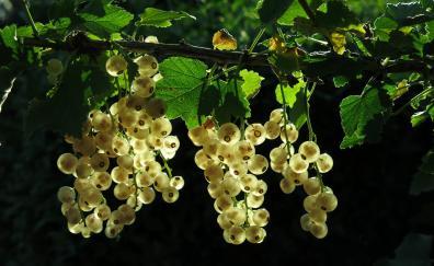 Berries yellow fruits bloom