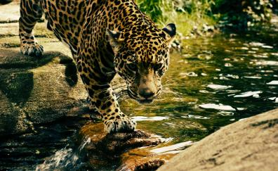 Predator jungle wild animal leopard
